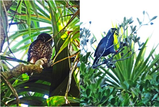 A Morepork (Ruru) and a North Island Kokako completed our list.