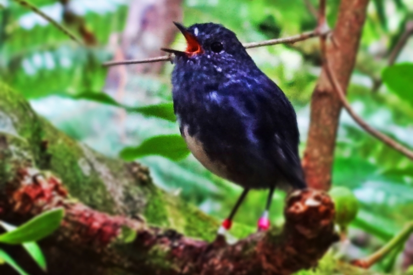 singingbird-cropped