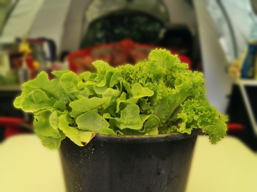 lettuce-jpeg